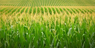 Cornfield with multiple rows of corn. Green and yellow